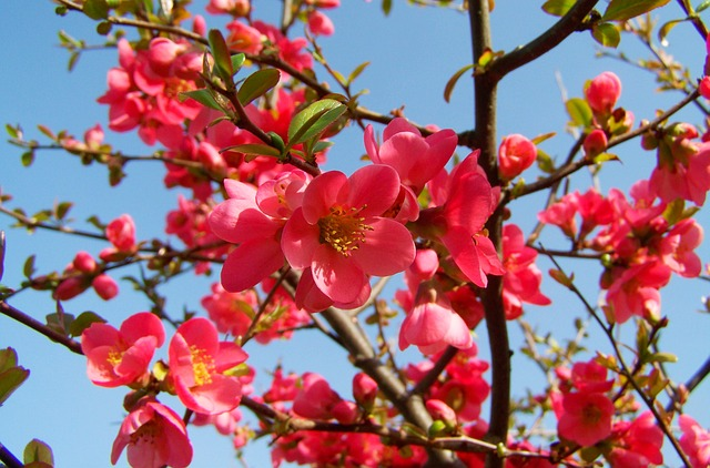japan-quince-1312636_640