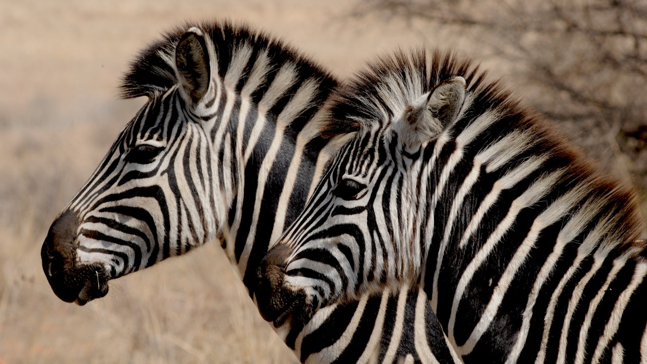 zebra-wild-animal-africa-stripes
