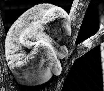 animal-koala-nature