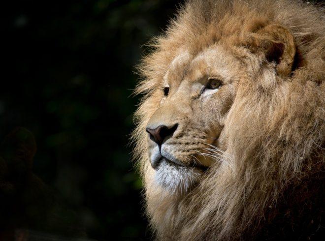 lion-wild-africa-african