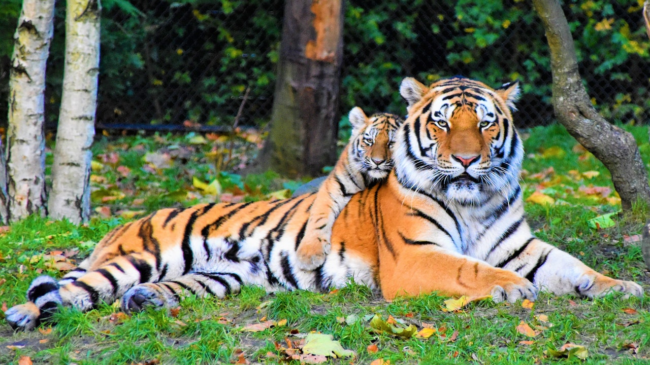 photo-of-tiger-and-cub-lying-down-on-grass-2541239